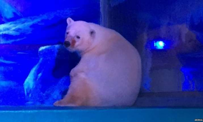 New home offered to 'Pizza', the 'world's saddest polar