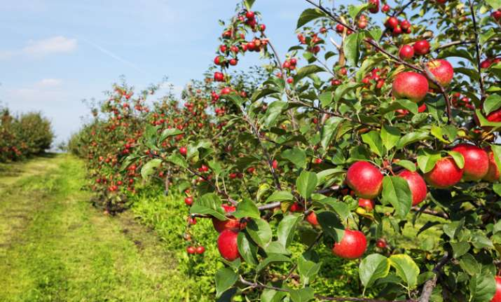 Himachal growers complete 100 years of producing apples.