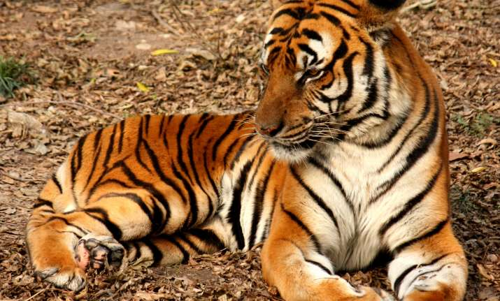 India lost over 100 tigers this year