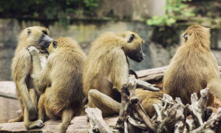 Monkeys 'original inhabitants' displaced by man in name of