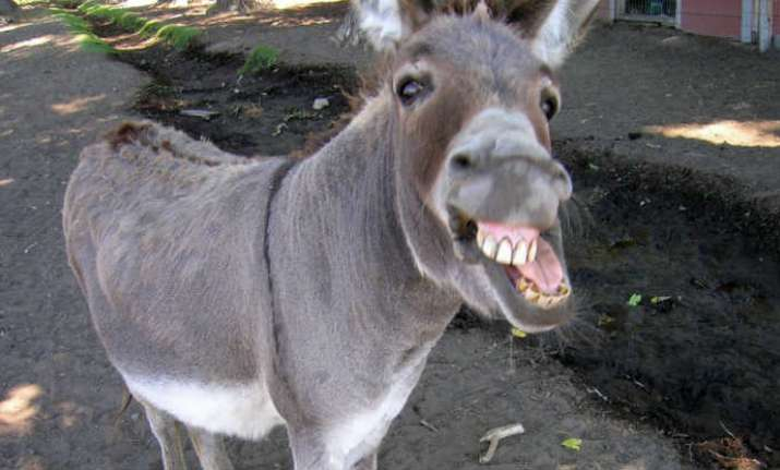 After 100 tonnes of hair, Pakistan to export 80,000 donkeys