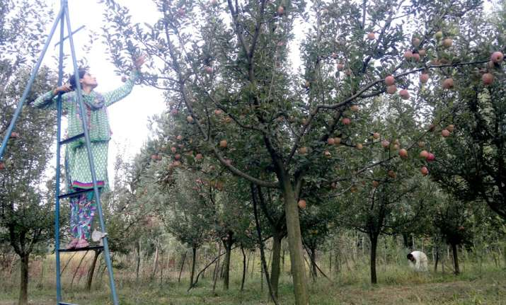 Apple orchard in South Kashmir