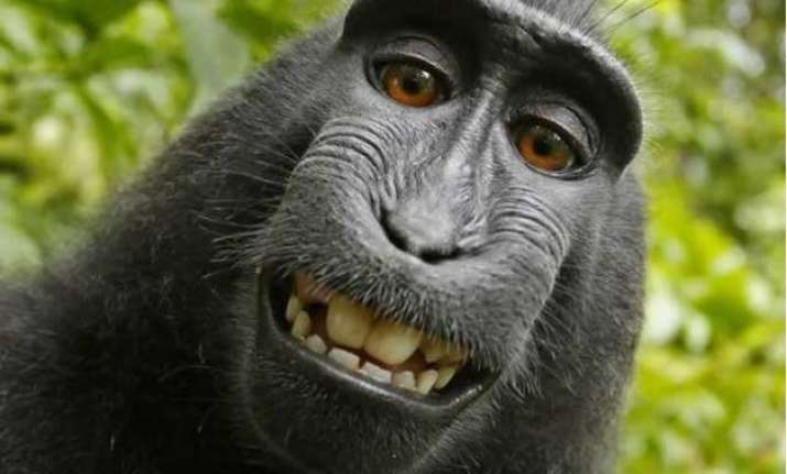 bizarre us judge declines monkey s right on his own selfie