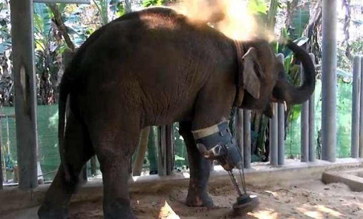 watch how this 3 legged baby elephant enjoys walking on her