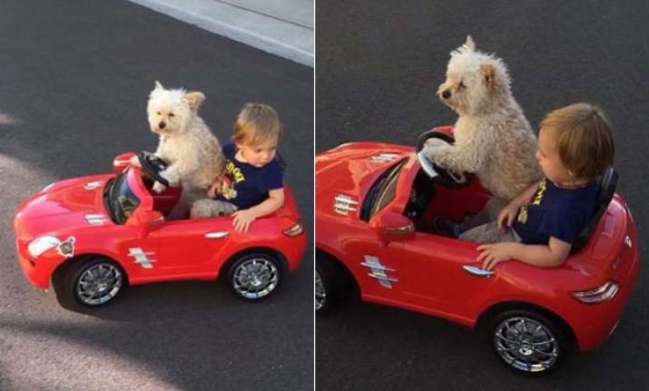 captured dog flawlessly drives toddler around in toy car