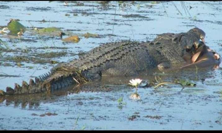 tourists watch crocodile eat shark in australia