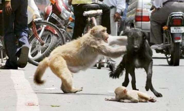 delhi monkey mom saves cub from moped and a dog