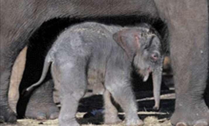 miraculous birth of baby jumbo in sydney zoo