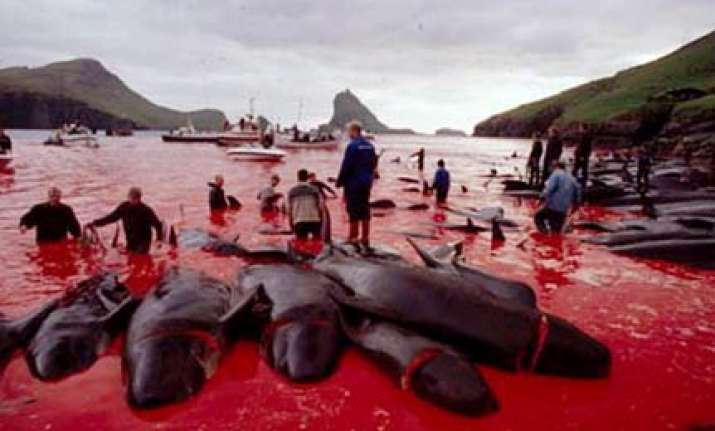 dolphins massacred annually in bloody rites of passage to
