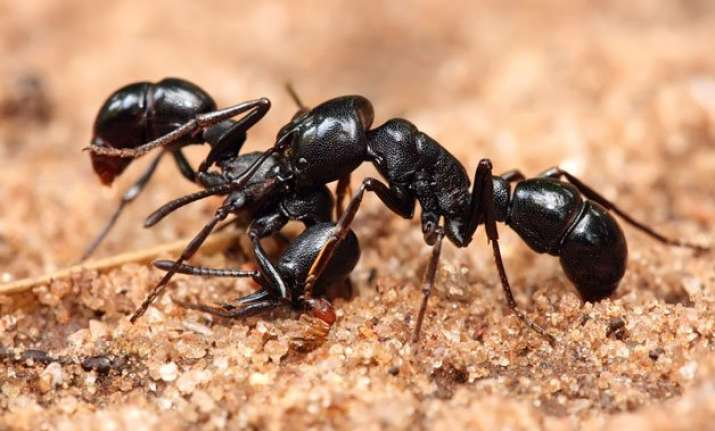 ants chemical improves cancer drug by 50 times