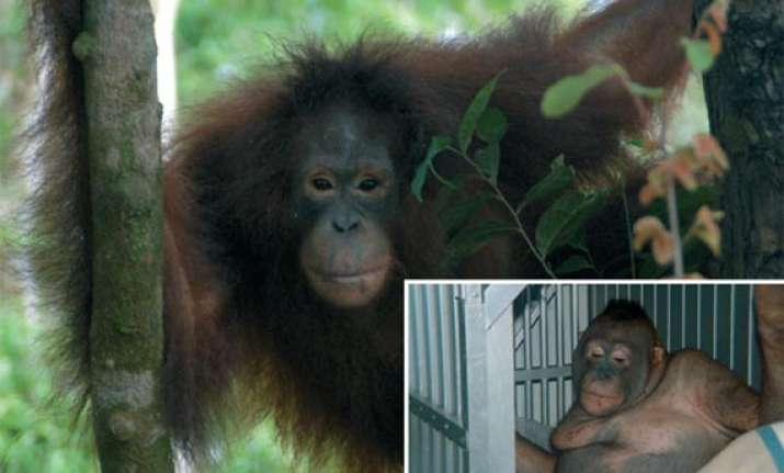 bizzare orangutan used as sex slave in indonesia