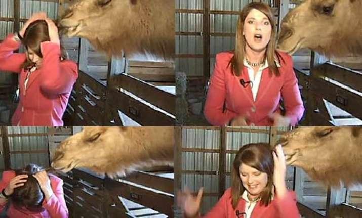 camel in us chomps female tv reporter s hair