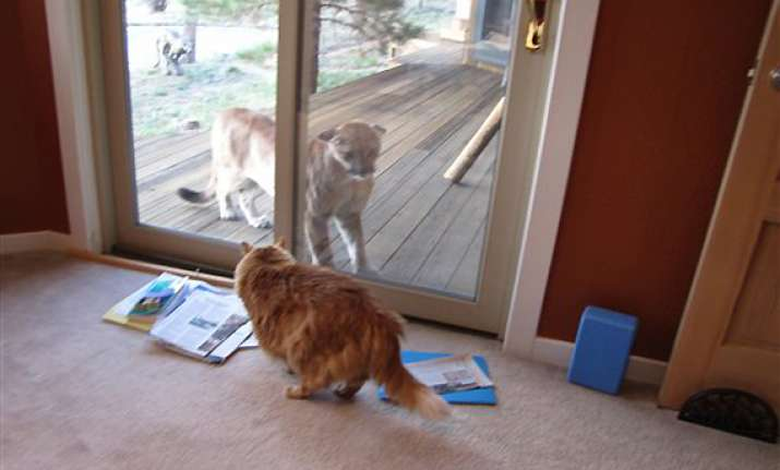 cat in us gets a close look at a mountain lion