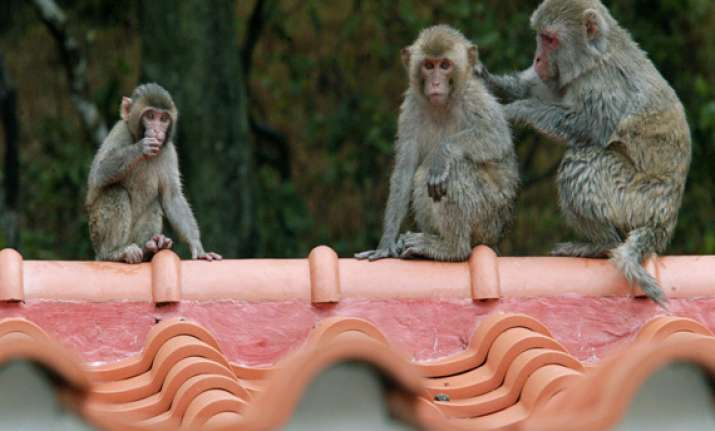 china s air force creates a battalion of monkeys