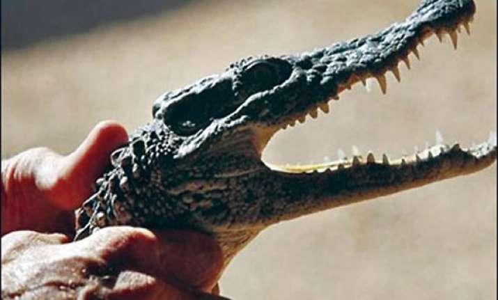 crocodile found roaming in plane s cargo hold