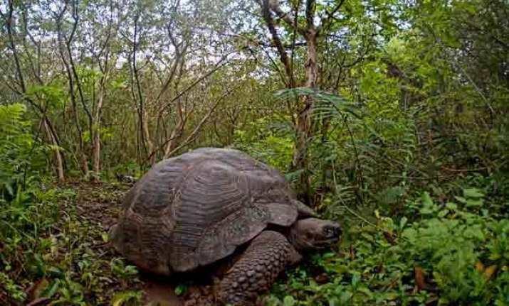 207 giant turtles to be released in the galapagos
