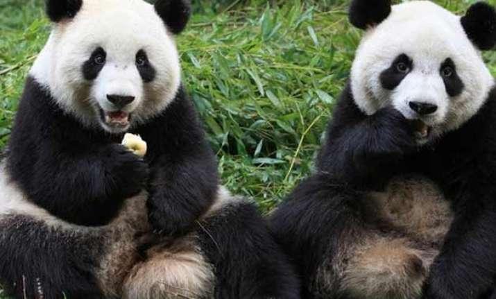 china s panda population up by 268