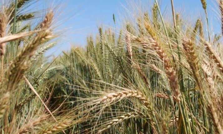 temperature rise affecting global wheat yield