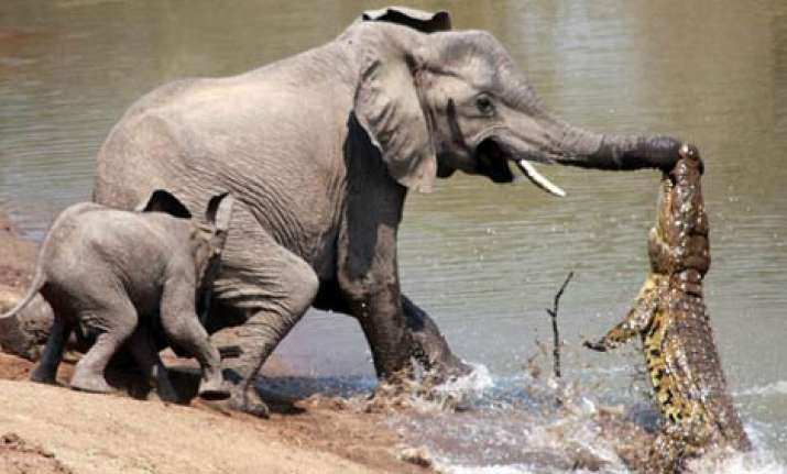 female elephant yanks her trunk off the jaws of a croc in