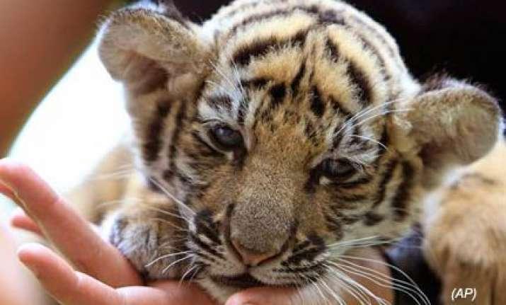 baby tiger found stuffed in bag at bangkok airport