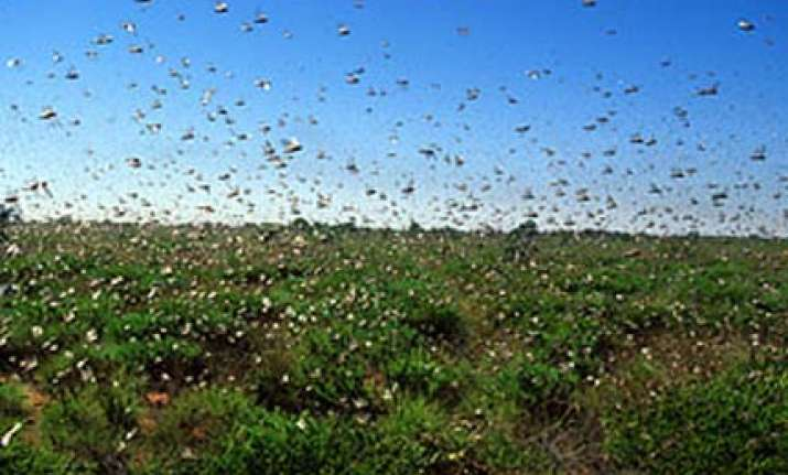 australia braces for worst locust plague in decades