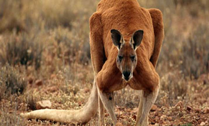 large kangaroo attacks australian woman