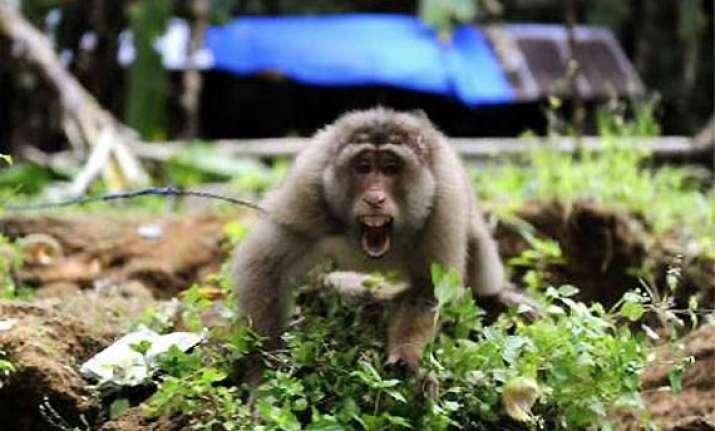 pakistan arrests indian monkey for crossing border