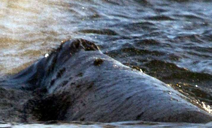 rare whale swims up west coast toward russian home