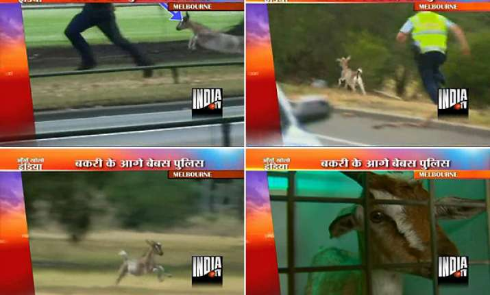 runaway goat leaves melbourne police on a wild goose chase