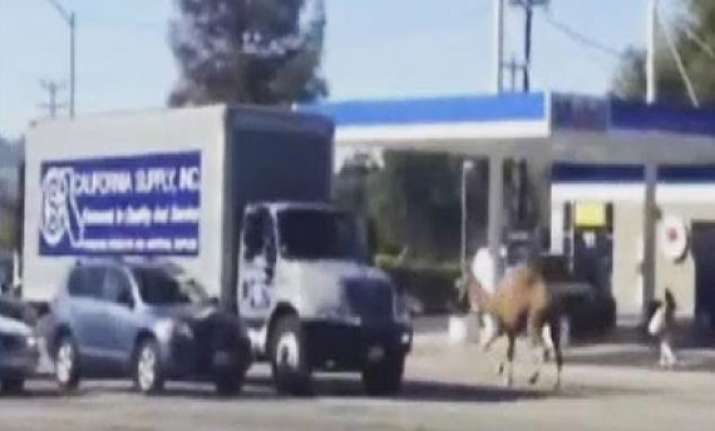 runaway circus camel causes traffic snarl in the us