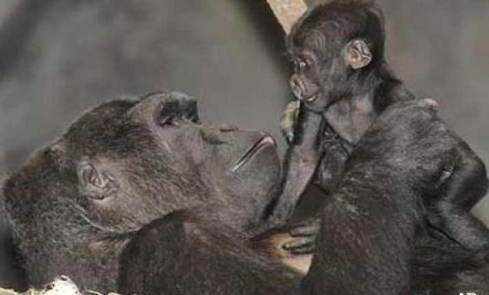 san diego zoo performs rare caesarean section on gorilla