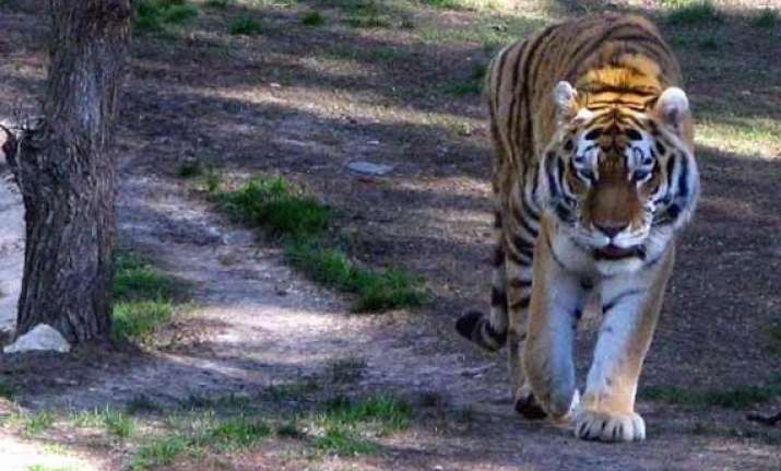 wwf for nature report says only 3 200 tigers left in the