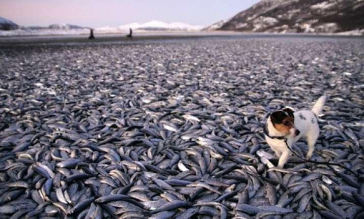 20 tons of herring wash up on norway coast then vanish
