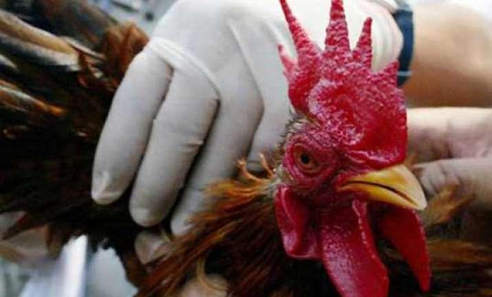 6 000 chickens culled in bihar after bird flu outbreak