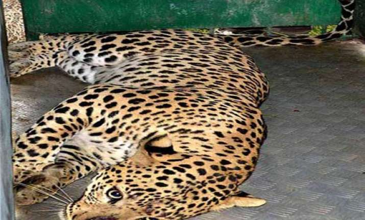 leopard on the loose in meerut schools markets closed army