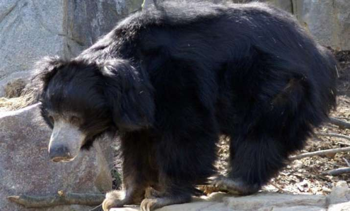 bear in assam dies of injuries after mauling 10 people