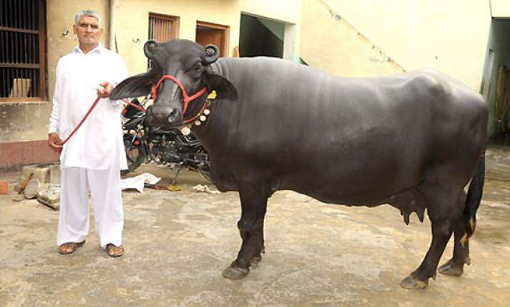 believe it or not this buffalo was sold for rs 25 lakh