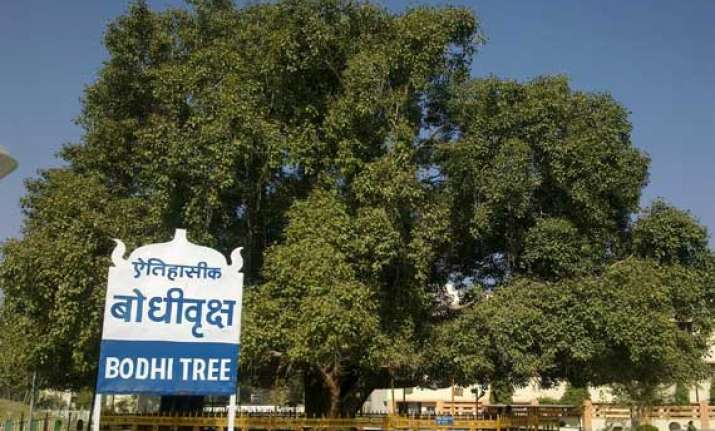 branch of historical bodhi tree falls in sarnath