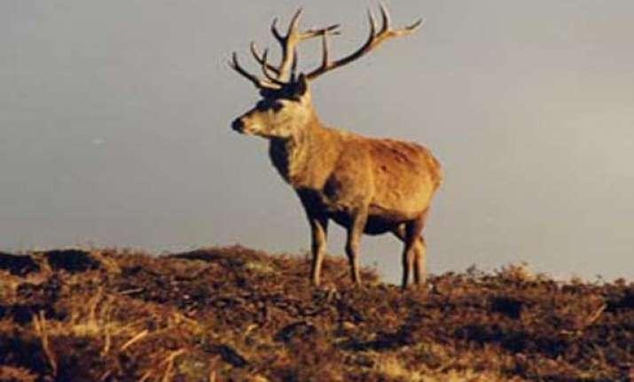 204 brow antlered deer found in manipur