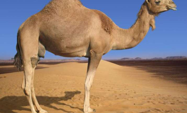 camel dung can be used as mosquito repellent