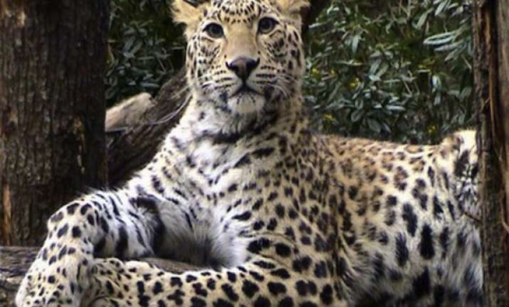don t spread rumours about sighting leopard dist officials