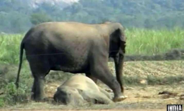 odisha elephant calf electrocuted mp bear burnt to death