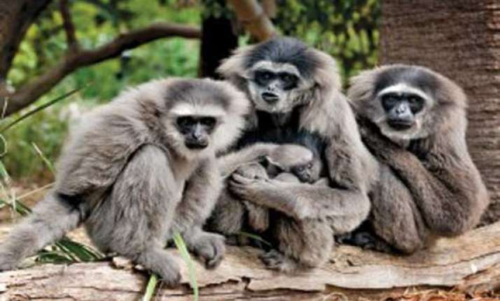 gibbon family translocated to arunachal pradesh