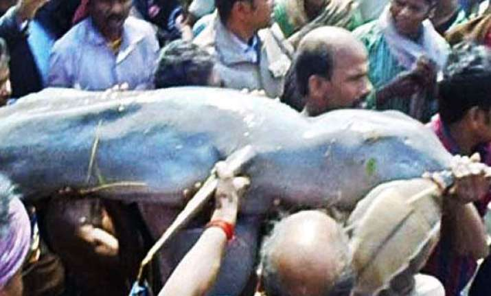 dolphin rescued in odisha released in river