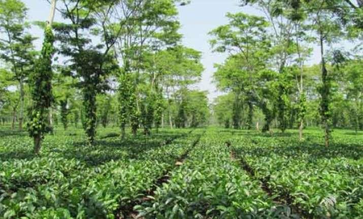 nasa s soil mission to rejuvenate classic assam tea