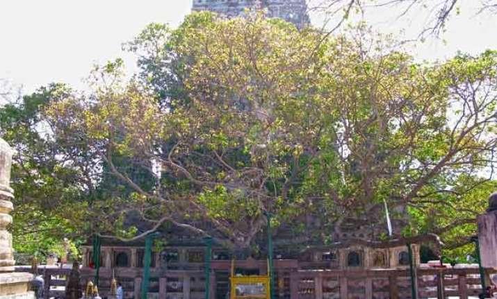 india to gift bodhi tree sapling to china mongolia