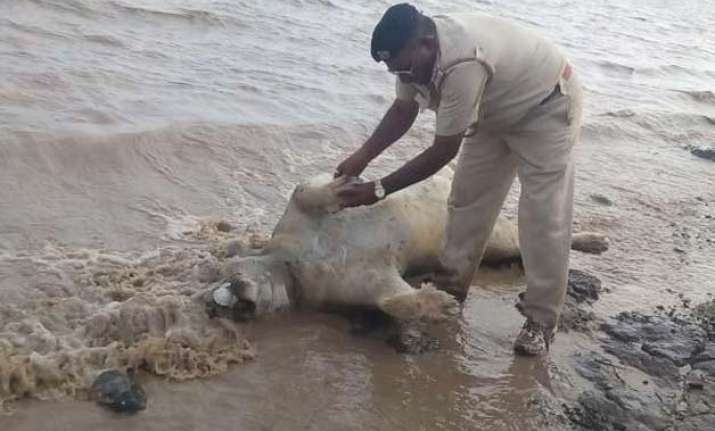 gujarat flash floods killed 10 lions about 90 spotted deer