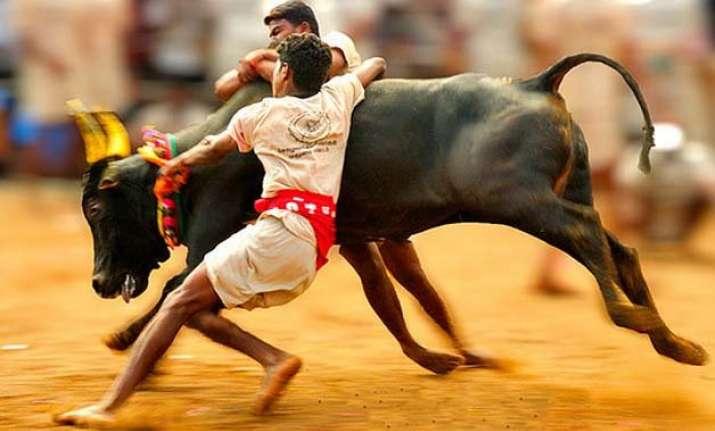 no revocation of ban on bull taming sport jallikattu rules