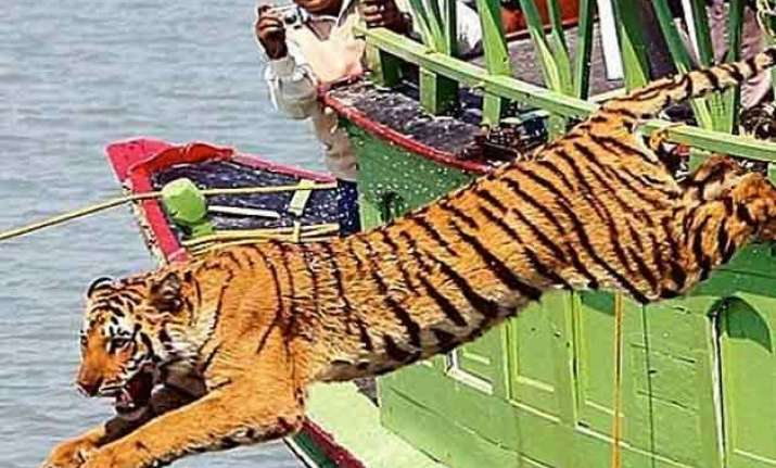 tiger drags away man injures another
