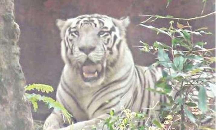 rare white tiger dies in odisha s nandan kanan zoo